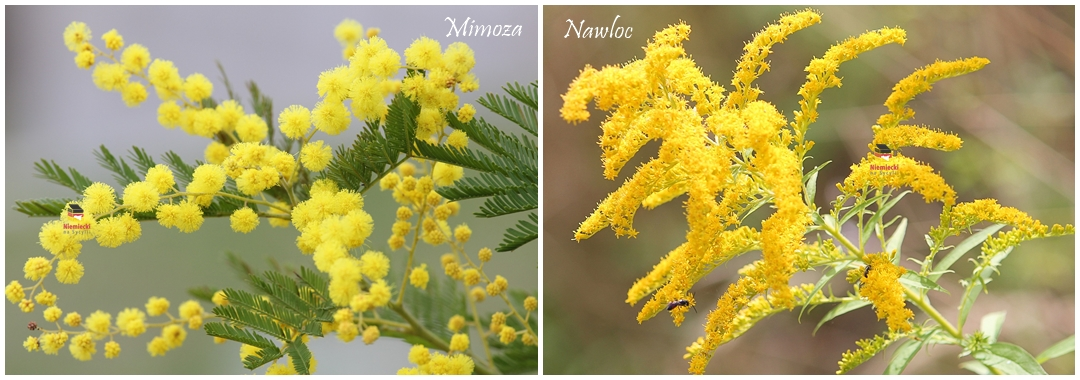 mimoza, akacja, mimozami jesień się zaczyna, mimoza na dzień kobiet, dlaczego daje się mimozę na dzień kobiet, dzień kobiet we włoszech, dzień kobiet na sycylii, mimoza na dzień kobiet, momoza dzień kobiet, mimozy na dzień kobiet, mimozy, dlaczego daje sie mimozy, dlaczego mimoza, dlaczego mimozy, włochy dzień kobiet mimoza, włochy dzień kobiet mimozy, sycylia, trapani, sycylia wiosną, wiosna na sycylii, żółta sycylia, kwiaty na sycylii, roślinność na sycylii, sycylia momoza, sycylia rośliny, kiedy kwitnie momoza, znaczenie mimozy, nawłoć, różnicz mimoza nawłoć, róznica między mimozą a nawłocią